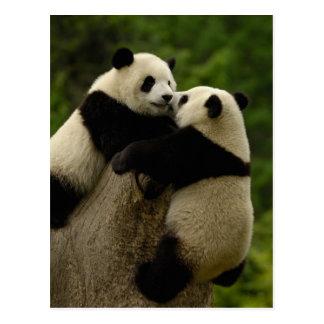 ジャイアントパンダのベビー(Ailuropodaのmelanoleuca) ポストカード
