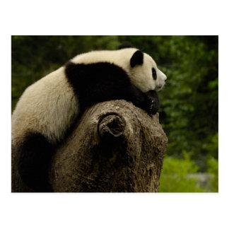 ジャイアントパンダのベビー(Ailuropodaのmelanoleuca) 3 ポストカード