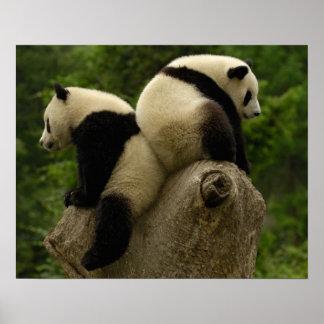 ジャイアントパンダのベビー(Ailuropodaのmelanoleuca) 4 ポスター