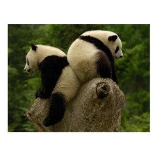 ジャイアントパンダのベビー(Ailuropodaのmelanoleuca) 4 ポストカード
