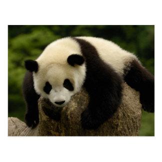 ジャイアントパンダのベビー(Ailuropodaのmelanoleuca) 4 葉書き