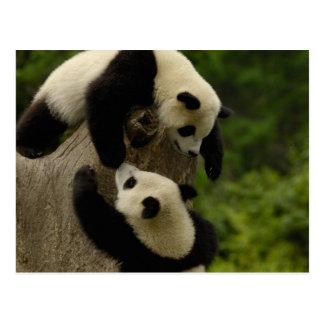 ジャイアントパンダのベビー(Ailuropodaのmelanoleuca) 5 ポストカード
