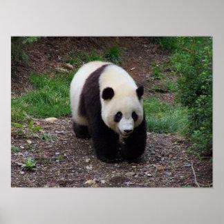 ジャイアントパンダの写真ポスター ポスター