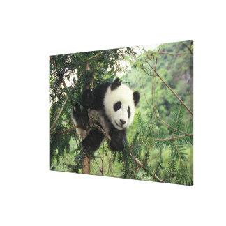 ジャイアントパンダの幼いこどもは木、Wolongの谷に上ります、 キャンバスプリント