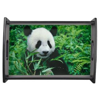 ジャイアントパンダの幼いこどもは薮のタケを食べます、 トレー