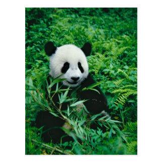 ジャイアントパンダの幼いこどもは薮のタケを食べます、 ポストカード