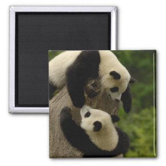 ジャイアントパンダの赤ん坊(Ailuropodaのmelanoleuca) 5 マグネット