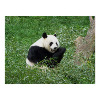 ジャイアントパンダの食べ物のタケ ポスター