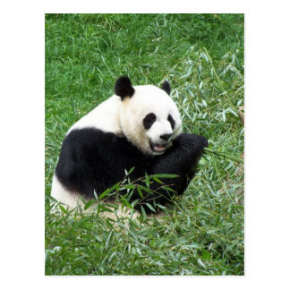 ジャイアントパンダの食べ物のタケ ポストカード