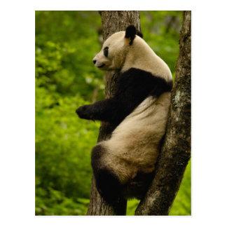 ジャイアントパンダのAiluropodaのmelanoleuca)家族: ポストカード