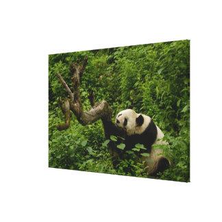 ジャイアントパンダのAiluropodaのmelanoleuca)家族: 2 キャンバスプリント