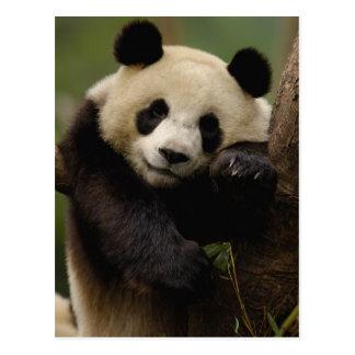 ジャイアントパンダのAiluropodaのmelanoleuca)家族: 4 ポストカード