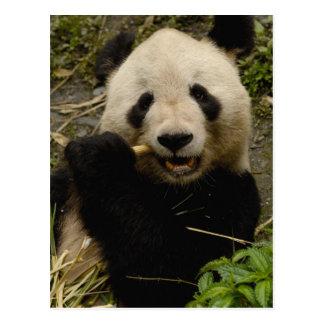 ジャイアントパンダのAiluropodaのmelanoleuca)家族: 5 ポストカード