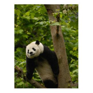 ジャイアントパンダのAiluropodaのmelanoleuca)家族: 6 ポストカード