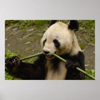 ジャイアントパンダのAiluropodaのmelanoleuca)家族: 7 ポスター