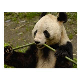 ジャイアントパンダのAiluropodaのmelanoleuca)家族: 7 ポストカード