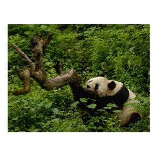 ジャイアントパンダのAiluropodaのmelanoleuca)家族: 8 ポストカード