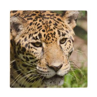 ジャングルのエンクロージャ2の捕虜のジャガー ウッドコースター