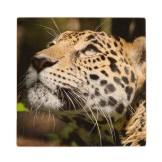 ジャングルのエンクロージャ3の捕虜のジャガー ウッドコースター
