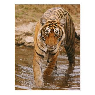 ジャングルの池から出ている王室のなベンガルトラ ポストカード