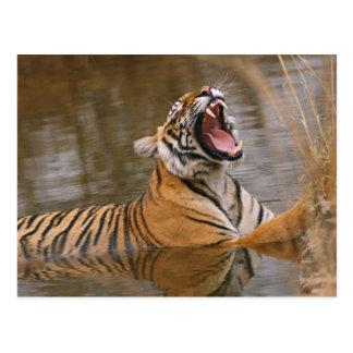 ジャングルの池であくびをしている王室のなベンガルトラ ポストカード