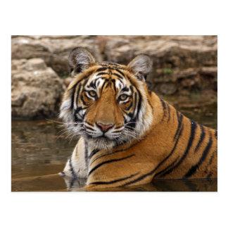ジャングルの池の王室のなベンガルトラ、 ポストカード