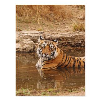ジャングルの池の王室のなベンガルトラ、2 ポストカード