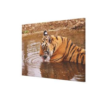 ジャングルの王室のなベンガルトラdrnking水 キャンバスプリント