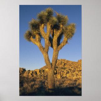 ジョシュアツリー、ユッカのbrevifolia)、および花こう岩 ポスター