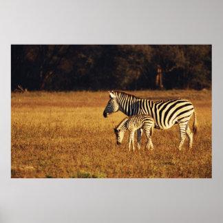 ジンバブエのHwangeの国立公園、Linkwasha ポスター