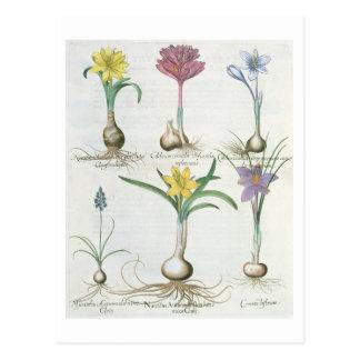 スイセン、クロッカスおよびHyacinth: 1.Narcissus autum ポストカード