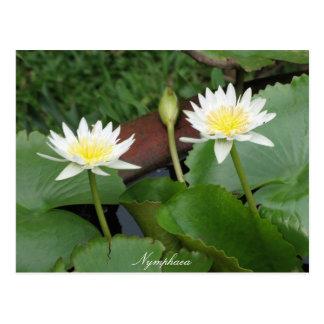 スイレン属の花の《植物》スイレン 葉書き