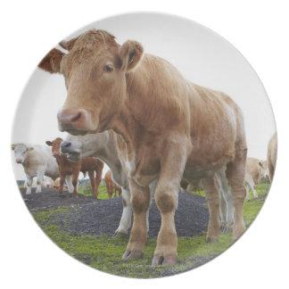 スコットランド分野の若く白い牛の群 プレート