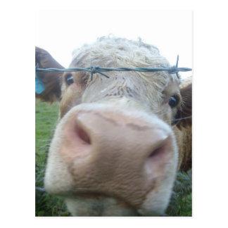スコットランド牛 ポストカード