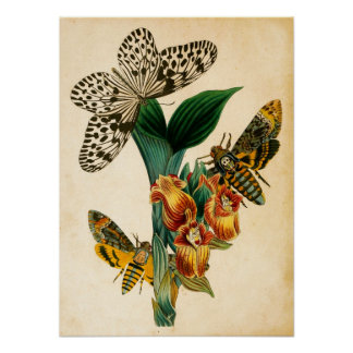 セイロン島の木のニンフの蝶及びAcherontiaのガ ポスター