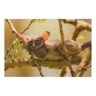 セネガルのBushbaby (ガラゴ科Senegalensis) ウッドウォールアート