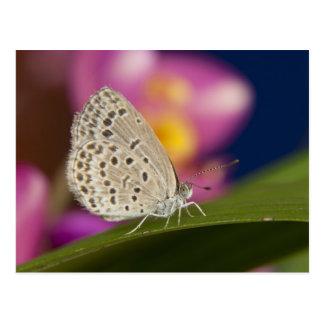タイ、Khon Kaen、淡い色のな草の青 ポストカード