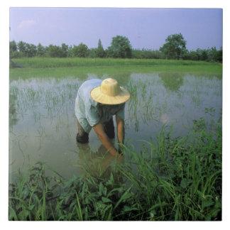 タイ、Sukhothai。 米の農家。 氏 タイル