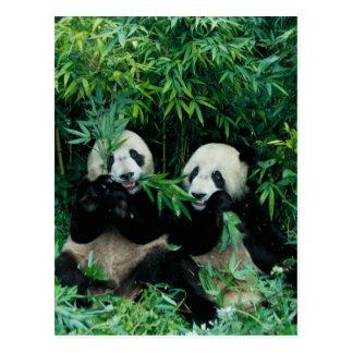 タケを、Wolong一緒に食べている、2頭のパンダ2 ポストカード