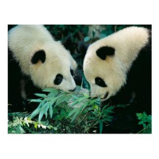 タケを、Wolong一緒に食べている、2頭のパンダ ポストカード