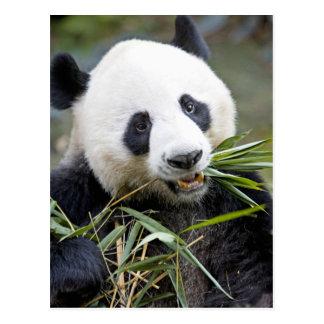 タケノコAlluropoda 2を食べているパンダ ポストカード