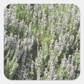 タスカニー、イタリアの花が付いているローズマリーの植物 スクエアシール