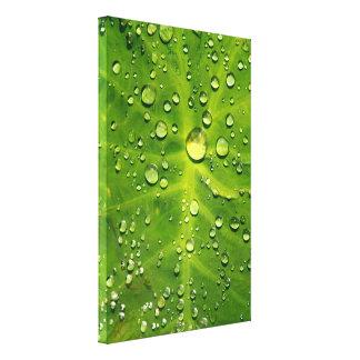 タロイモの葉の雨滴 キャンバスプリント