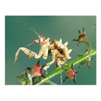 タンザニアの花のカマキリ、Pseudocreboter ポストカード