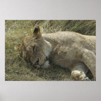 タンザニアポスターのライオン ポスター