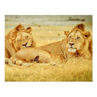 タンザニア280340のしなびた野生の大きな猫のライオンタンザニア ポストカード