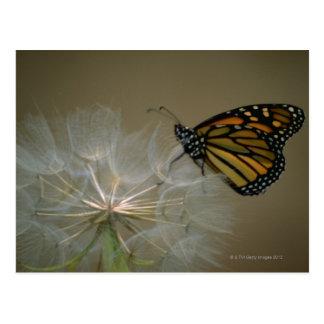 タンポポの(昆虫)オオカバマダラ、モナーク ポストカード