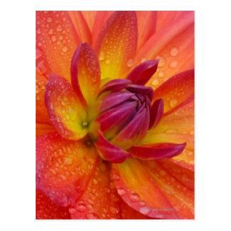 ダリアの中心の花びらのクローズアップ ポストカード