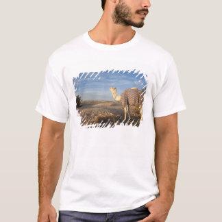 チュニジア、サハラ砂漠の砂漠、Douzの素晴らしい砂丘、ラクダ、 Tシャツ