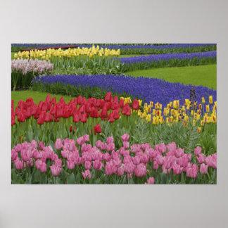 チューリップの庭、ムスカリ ポスター